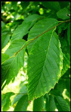 AH_leaf