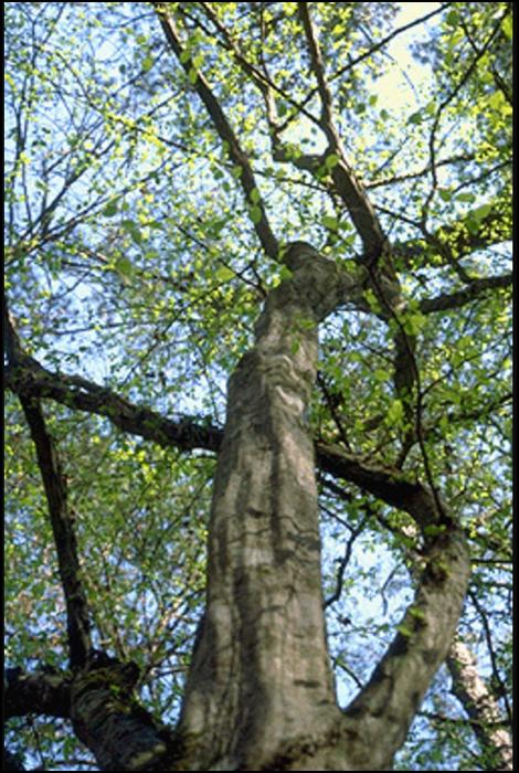 AH_tree