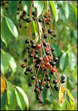 BC_fruit