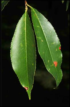 BC_leaf