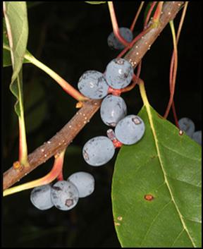 BG_fruit