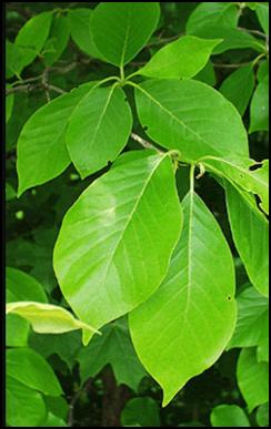 BG_leaf