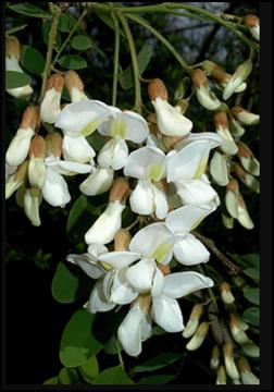 BL_flower