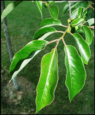 CP_leaf