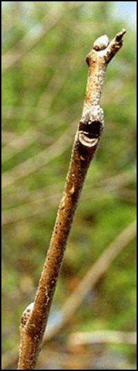 CP_twig