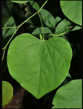 ER_leaf
