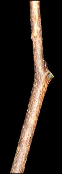ER_twig