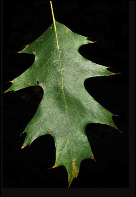 NRO_leaf