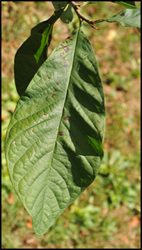 PP_leaf