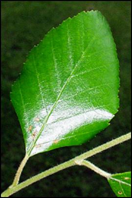 RB_leaf