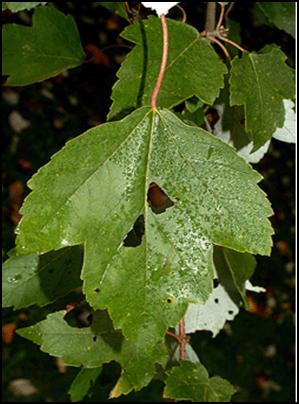 RM_leaf