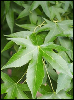 SW_leaf