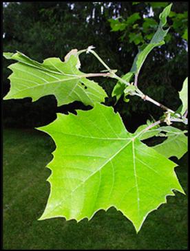 SY_leaf