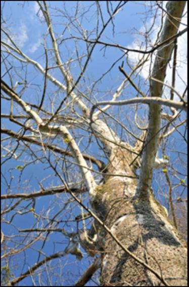 SY_tree