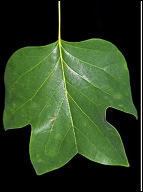TT_leaf